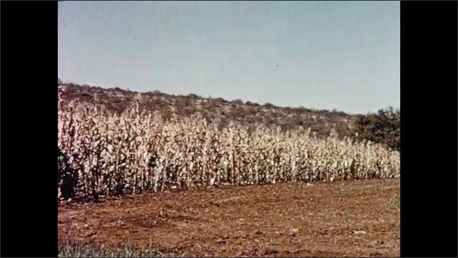 1950s SOUTH AFRICA: Cattle on farm. Workers in field with dry corn.