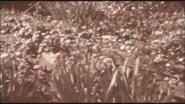 1940s: UNITED STATES: flowers in border. Daffodils in garden in spring. Shadows over plants.