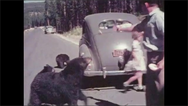 1950s: UNITED STATES: Bear and cubs look for food. Man feeds bear cubs on road.
