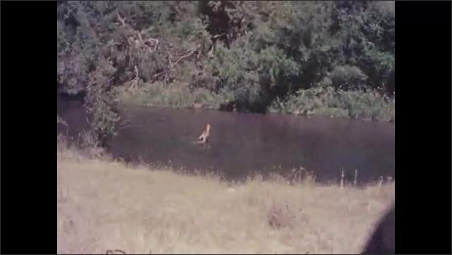 1950s: View of hill. Pan across grass. Long shot of bison. Deer walking across creek. Views of bison herd in field.