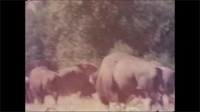 1950s: Pan across herd of bison. Views of bison grazing. Long shots of bison in field. Horse-drawn cart approaches camera.