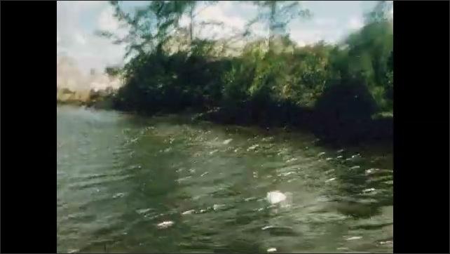 1950s: UNITED STATES: trees in mangrove. Plane flies above mangrove. Birds on waterway. Boat trip along waterway