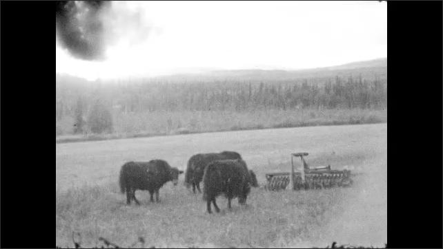 1930s: Cows graze near farm equipment in field. Cow grazes near fence.