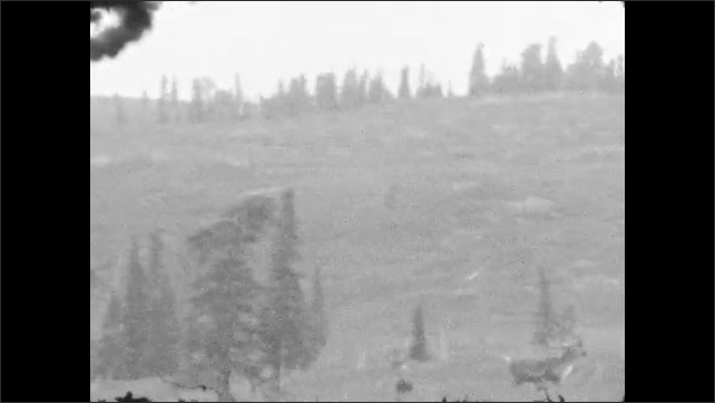 1920s: Adult elk in field looks up in alarm. Adult trots off and two smaller elk trot behind it.