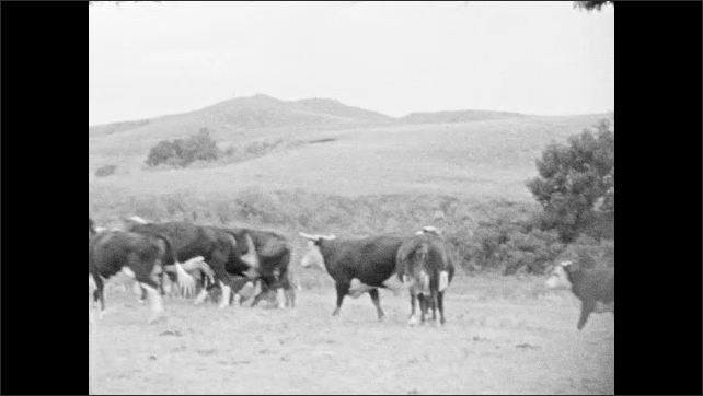 1930s: Cattle run and graze in hilly terrain.