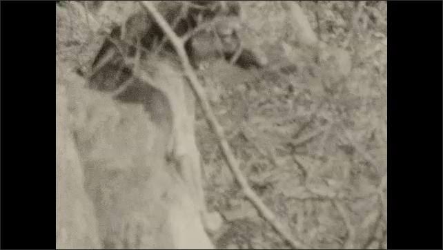 1920s: Man holds camera and pets dog.  Dog plays.  Man struggles with branches.