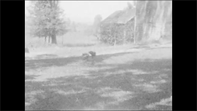 1920s: River runs by side of the road. Two roosters fight in yard. Traffic officer stands in city street. Woman walking through park. Officer directing traffic in intersection.