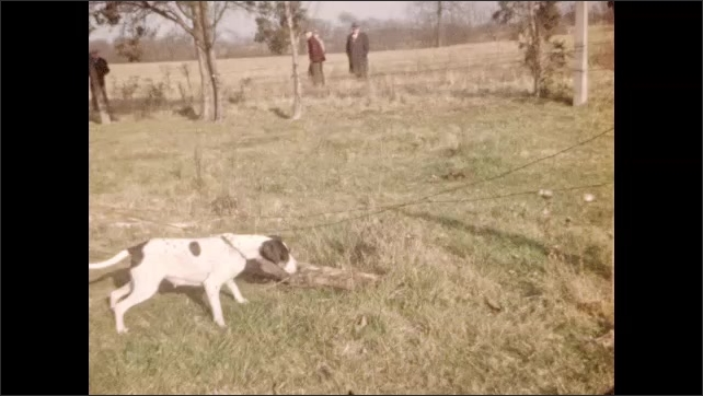 1940s: Man with rope slowly walks around pointing dog. Dog on leash points at quail in grass. Quail runs across field. Hand holds live quail.