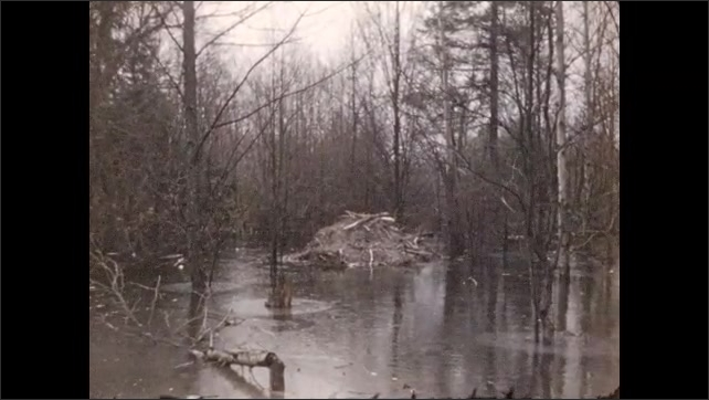 1940s: Man walks down dirt road in woods. Man stands next to dirt mound. Beaver dam on frozen lake. Fallen trees hang over river.