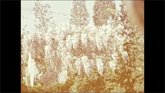 1940s: Flowers on trees, white picket fence, brick house. Wisteria. Man stands by fence, dog jumps on man, man plays with dog.