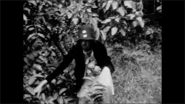 1920s: Woman picks fruit from bushes. People work in fields of pineapple farm. Rows of fruit plants in large hillside farm.