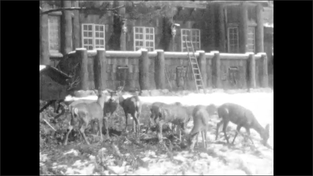 1930s: UNITED STATES: family feed deer in forest. Building and snow. Deer by building. Deer take food from family. The Ahwahnee sign. Boys stand by sign