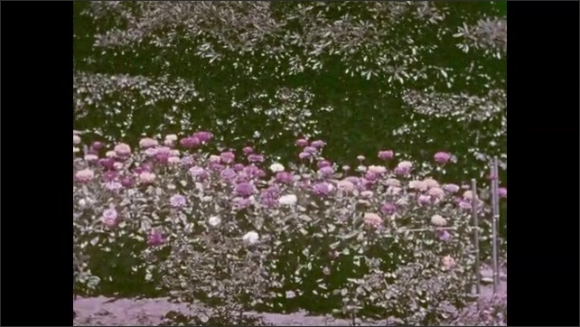 1940s: Tortoises walk across grass. Garden with statue. Flowers.