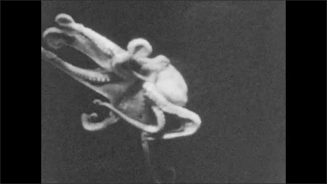 1930s: Octopus swims underwater in an aquarium. Fish swim in aquarium next to rock.