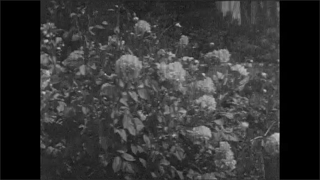 1930s: Bed of flowers in garden. Man in suit stands in garden. Flowers on bush. Young man holds bush out for view. Woman is touching flowers.