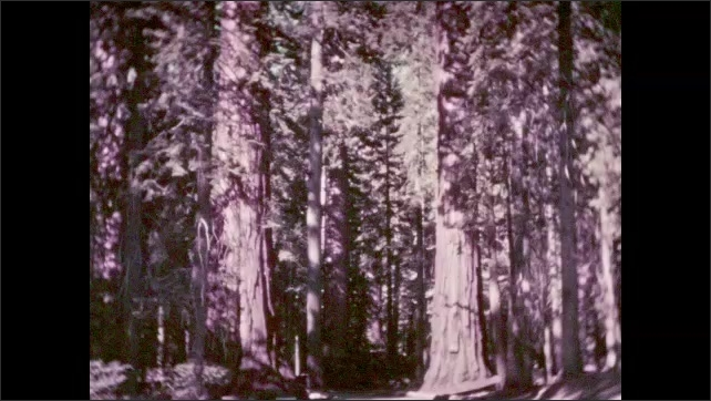 """1930s: Large redwood trees. Road between two large redwood trees in forest. Sign: """"MORO ROCK ELEV. 6400"""". People walk along guardrail at side of mountain. Top of mountain."""