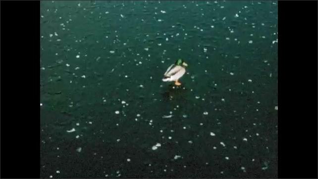 1960s: Ducks walk on ice.  Ocean.  Boats.
