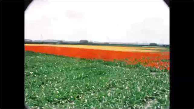 1960s: EUROPE: floats decorated in flowers. Tulips in field.