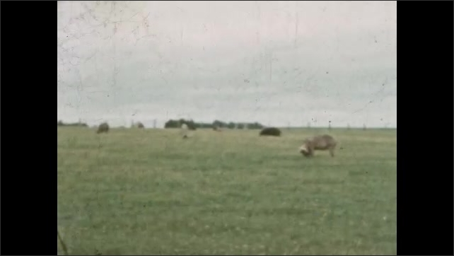 1930s: MEXICO: house by road. Tree by house. Cattle in field. Pigs in field. View towards farm.