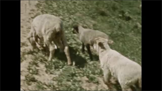 1930s: MEXICO: sheep and lambs cross road. Sheep by road