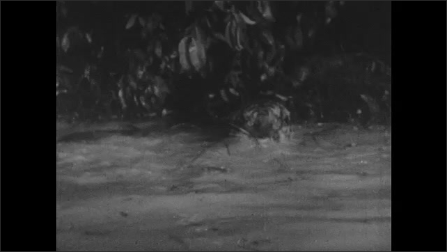 1950s: UNITED STATES: tiger fights crocodile. Lion in jungle. Tiger in swamp