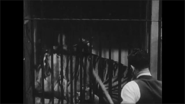 1950s: UNITED STATES: cheetahs fight inside cage. Lion fights in cage. Man pokes stick at fighting tigers. Man sprays animals with hose