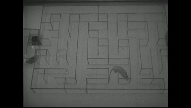 UNITED STATES 1940s ?????Mouse goes through maze.