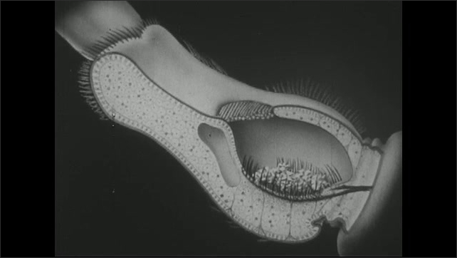 UNITED STATES 1940s ?????Drawing of inside of crayfish.