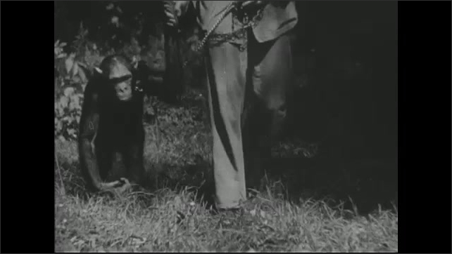 UNITED STATES 1940s ?????monkey walks through hole in fence to retrieve banana. Man walks a chimpanzee on a leash.