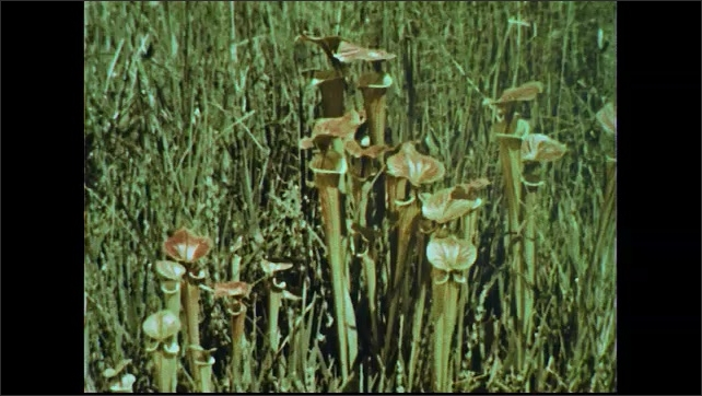 UNITED STATES 1950s: Tilt down trees in swamp / Views of pitcher plants.