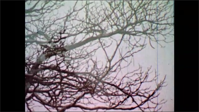 1950s: UNITED STATES: tree in Autumn. Snow in woods
