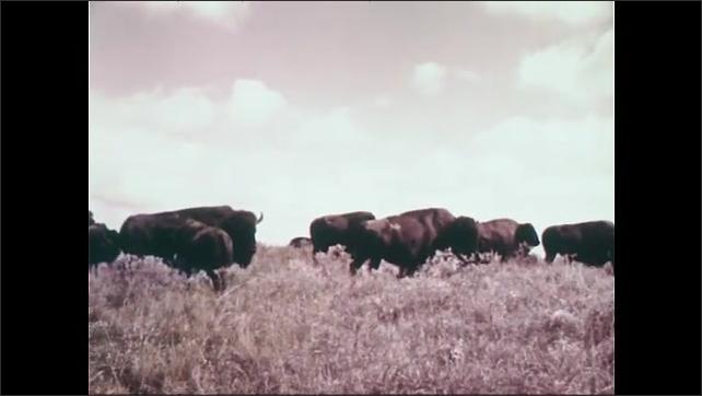 1950s: Mother and child.  Wagon train.  Buffaloes.  Man shoots gun.