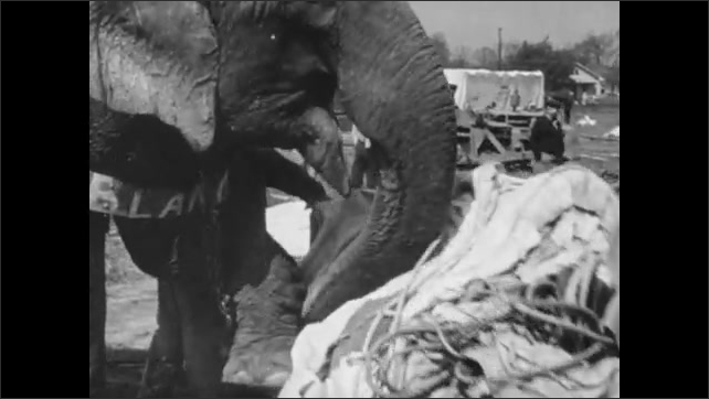 1940s: Men hammer wooden stakes into ground. Workers roll out large canvas tent. Men and elephant roll out large circus tent.