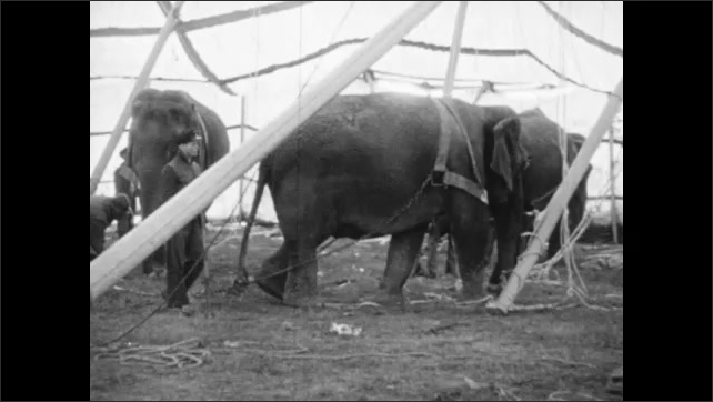 1940s: Canvas tent waves in breeze. Elephants and men with ropes pull circus tent poles upright. Flags wave on circus big top tent.