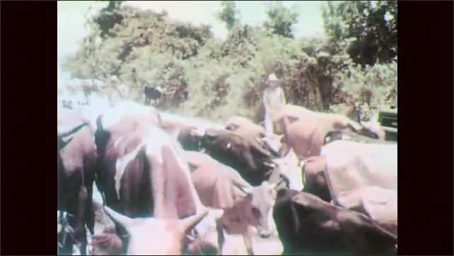 1960s: Cow grazes near huts. Herd of cattle walk past jeep. Men ride horses and drive cattle down dirt road.