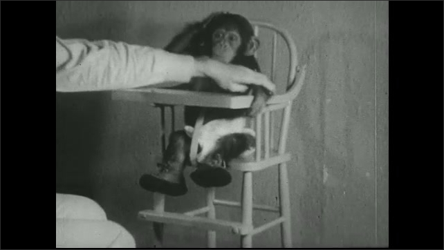 UNITED STATES 1930s ?????Chimpanzee is placed in highchair and given a spoon.