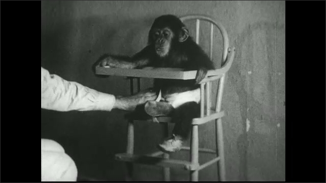 UNITED STATES 1930s – Baby chimpanzee is placed in highchair and given a treat.