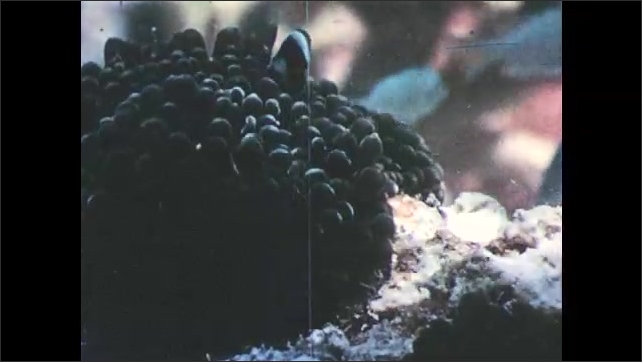 1940s: Clownfish swims through tentacles and hides within anemone.