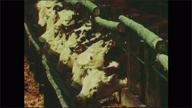 1950s: cargo boat transporting beet pulp that remains after sugar extraction, cows eating, sheep walking, beet fields