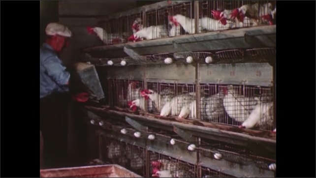 UNITED STATES 1940s: A dairy worker feeds a row of caged chickens using a sliding funnel that releases grain into their cages.