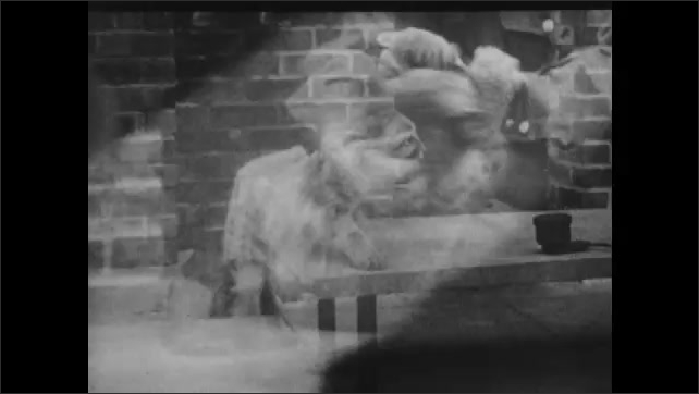 1930s: UNITED STATES: wild cat cub. Dog and cub. Keeper handles wild cat cub.
