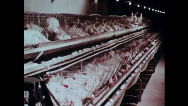 1970s: Chicken farm.  Chickens in cages.  Eggs move by on conveyor belts.
