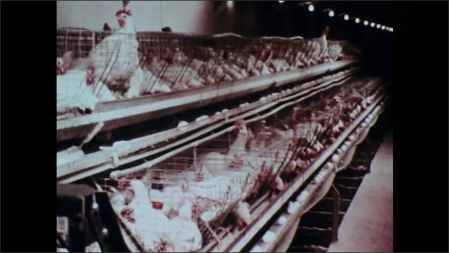 1970s: Chickens in cages.  Eggs move past on conveyor belt.