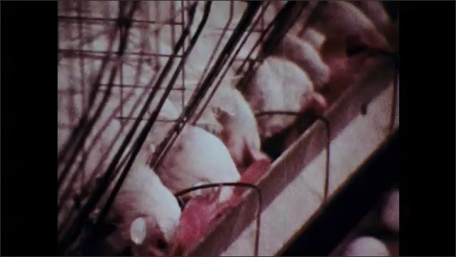 1970s: Man connects hose.  Feed comes out of tube.  Chickens peck and eat.  Eggs move past on conveyor belt.