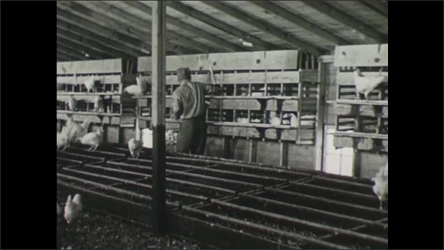 UNITED STATES 1940s : Helper Collects Eggs from Open Nests