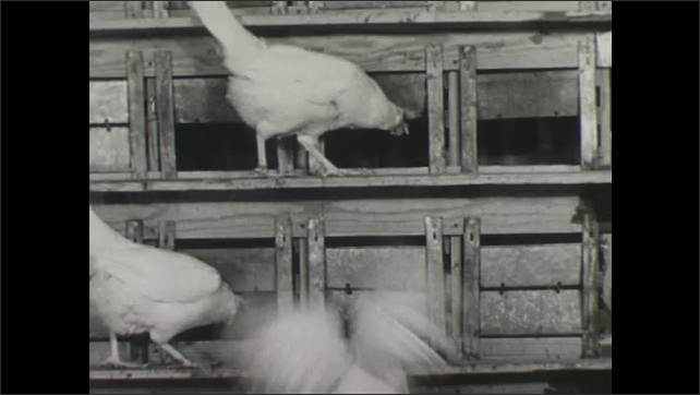 UNITED STATES 1940s : Collecting Eggs in a Hen House