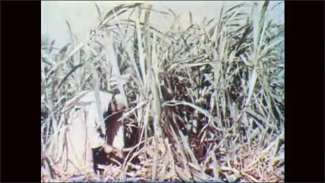 1950s: EGYPT: close up of flower in Egypt. Sugar cane in field. Man chops down sugar cane. Man works fields