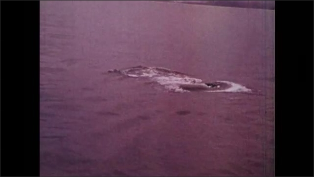 1970s: UNITED STATES: bird sits on water. Biologists study whales in sea. Gray whales at surface of water