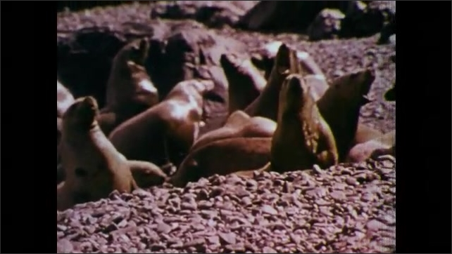 1970s: UNITED STATES: seals relax on shore. Gray whale lifts fin. Sea lions on beach. Community of sea lions
