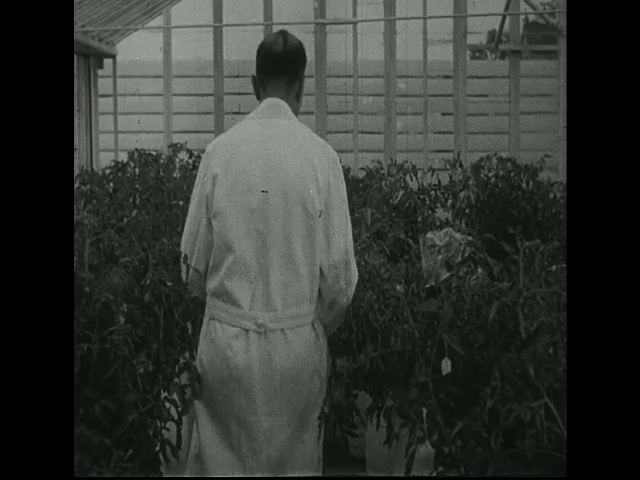 Pollen is transferred from one plant to another by a scientist in a green house.